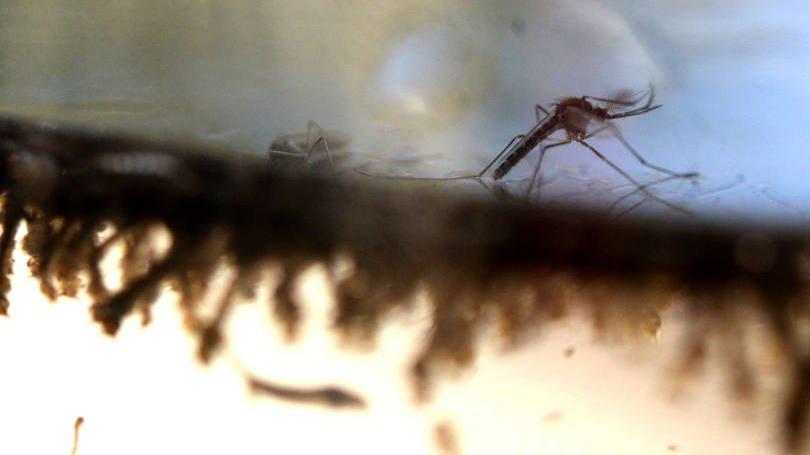 size_810_16_9_mosquito-aedes-aegypti-transmissor-da-dengue-virus-zika-e-febre-chikungunya