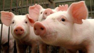 porco vacina tirandoduvidas.com